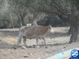 00000131-cow-amongst-olive-trees-amuka.jpg